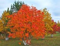 Rowanberry осени Стоковые Изображения