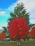Rowanberry осени Стоковое Изображение