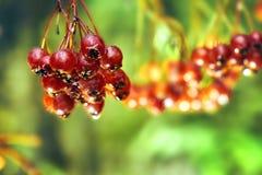 Rowanberry после холодного дождя осени Стоковое Изображение RF