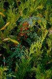 Rowanberry Стоковая Фотография RF