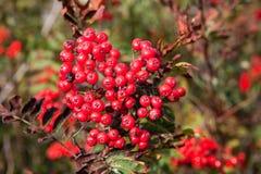 rowanberry στοκ εικόνα