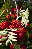 Rowanberry. Tree close-up with ripe fruits Royalty Free Stock Photos