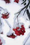 Rowanberry. Snow covered rowan-berry. Winter scene in the forest stock photo