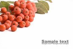 Rowanberry Royalty Free Stock Images