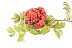 Rowanberry Royalty Free Stock Photos