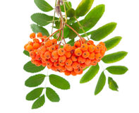 Rowanberry. On a white background Stock Images