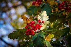 Rowanberry Στοκ Εικόνες