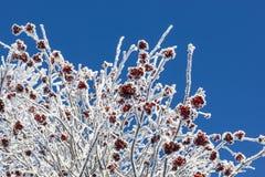 Rowanberry στοκ εικόνες με δικαίωμα ελεύθερης χρήσης