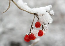 Rowanberry Fotos de Stock