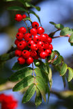 Rowanberry. Nice rowanberry on the bush Stock Images