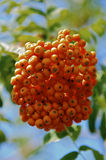 Rowanberry. Bunch of wild rowanberry close-up Stock Photography