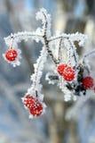 rowanberry Стоковая Фотография
