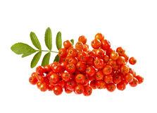 Rowanberry or ashberry isolated on white Stock Images