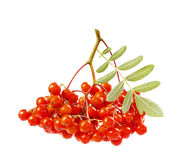 Rowanberry or ashberry isolated on white Royalty Free Stock Photography