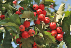 Rowanberry by autumn Stock Photos