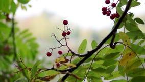Rowanberry in autumn city stock footage