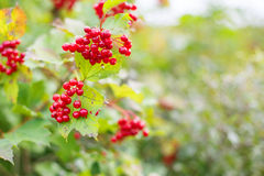 Rowanberry in autumn forest hanging on branch Stock Image