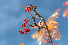 Rowanberry background. Rowanberry with leaves. Autumn Background Royalty Free Stock Photography