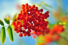 Rowanberry background. New summer season Stock Photos