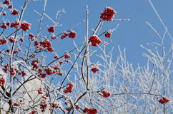 Rowanberry and blue sky Royalty Free Stock Photography