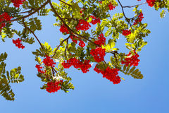 Rowanberry with blue sky. Rowanberries with green leaves on blue sky Stock Image