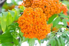 Free Rowanberry Branch Royalty Free Stock Images - 55563719
