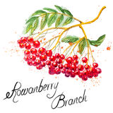 Rowanberry branch Royalty Free Stock Photography