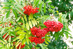Rowanberry branch. Photo of the red ripe rowanberry branch Royalty Free Stock Images