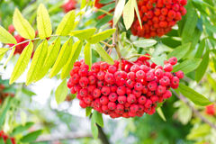 Rowanberry branch Stock Photography