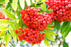 Rowanberry branch Stock Photos