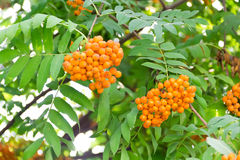 Rowanberry branch Stock Photo
