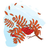 Rowanberry branch. Sketch on watercolor background Stock Photos