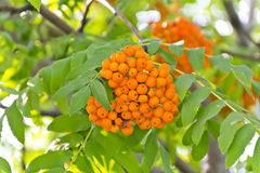 Rowanberry branch. Yellow ripe rowanberry branch in sunny light Royalty Free Stock Images
