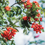 Rowanberry branches close view Stock Image