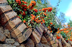 Rowanberry and bricks. Rowans appear from behind a top of the brick fence Royalty Free Stock Image