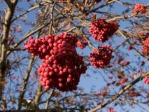 Rowanberry bunch Stock Image