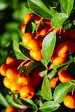 Rowanberry. In the city park Stock Photography