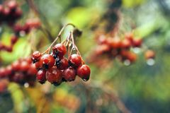 Rowanberry after cold autumn rain. Bunch of ripe rowanberry after cold autumn rain Stock Photos