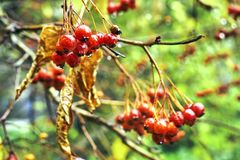 Rowanberry after cold autumn rain. Bunch of ripe rowanberry after cold autumn rain Stock Image