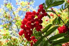 Rowanberry, czerwone rowan jagody na drzewie Zdjęcia Royalty Free