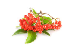 Rowanberry with green leaves. Over white background Royalty Free Stock Photos