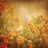 Rowanberry grunge background Stock Photos