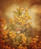 Rowanberry grunge background Stock Image