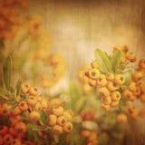 Rowanberry grunge tło Zdjęcia Stock