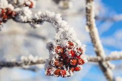 Rowanberry. On hoarfrost covered branches Stock Photos