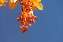 Rowanberry background. Rowanberry with leaves. Autumn Background Stock Images
