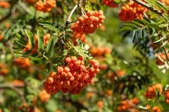 Rowanberry na drzewie Zdjęcie Stock