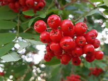 Rowanberry. Nice photo of rowanberry on tree in nature Royalty Free Stock Image