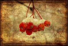 Rowanberry no grunge da neve Imagem de Stock Royalty Free