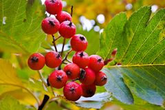 Rowanberry. Red rowanberry in a forest in October Royalty Free Stock Photos